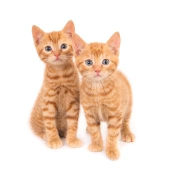 Due curiosi gattini allo zenzero.