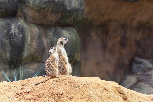 Due curiosi suricati stanno sulle zampe posteriori su una collina sabbiosa e distolgono lo sguardo.