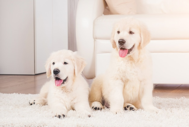 Due simpatici cuccioli di razza da riporto lanuginoso a casa