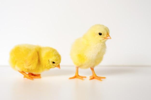 Due pulcini gialli piccoli piccoli svegli del neonato su fondo bianco