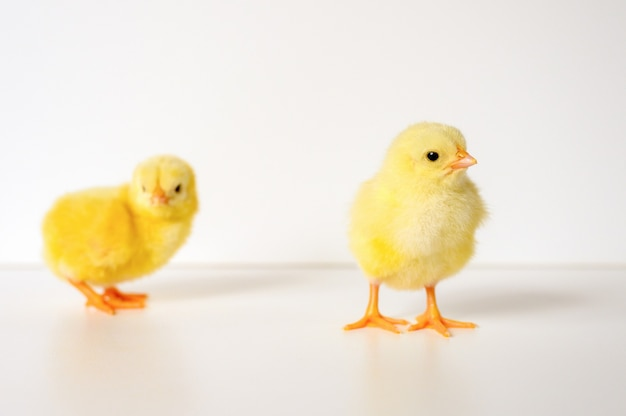 Due pulcini gialli appena nati piccoli svegli del bambino sulla parete bianca