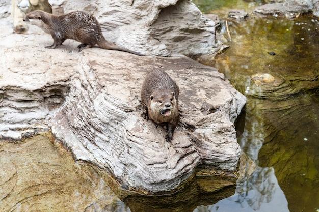 Due simpatiche lontre di fiume nello zoo