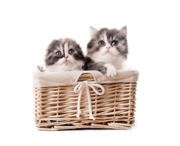 Due simpatici gattini di razza scozzese in cestino isolato su sfondo bianco