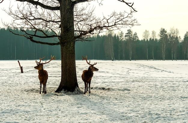 Due cervi stanno vicino a un albero, nella foresta. stagione invernale. concetto di fauna selvatica