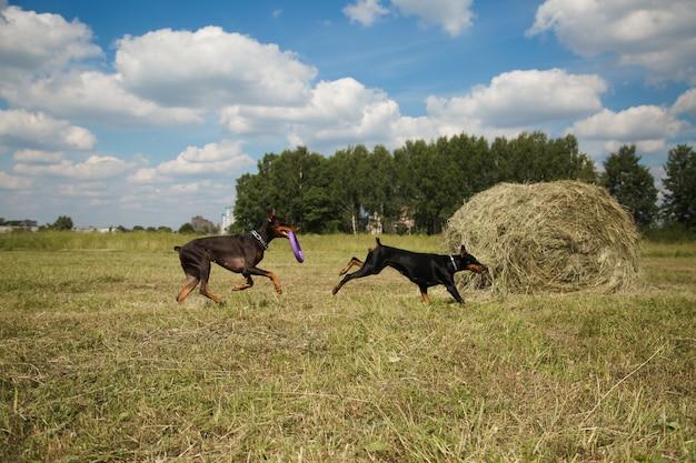 Due cani doberman che giocano nel campo