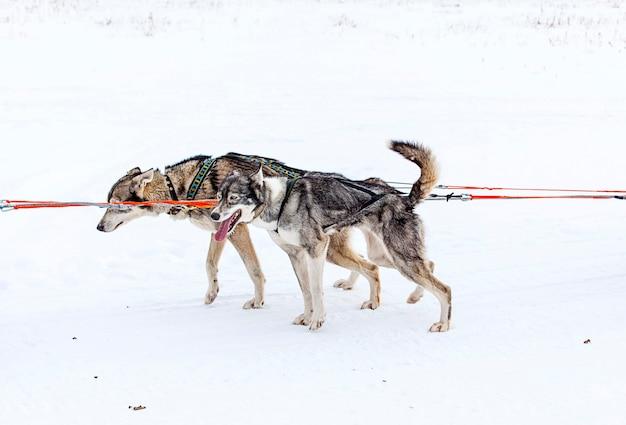 Due cani in imbracatura che tirano una slitta gare in inverno
