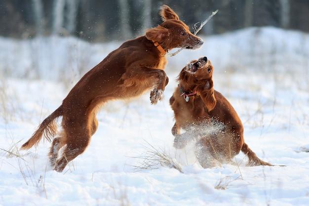 Due cani che giocano contro la neve bianca