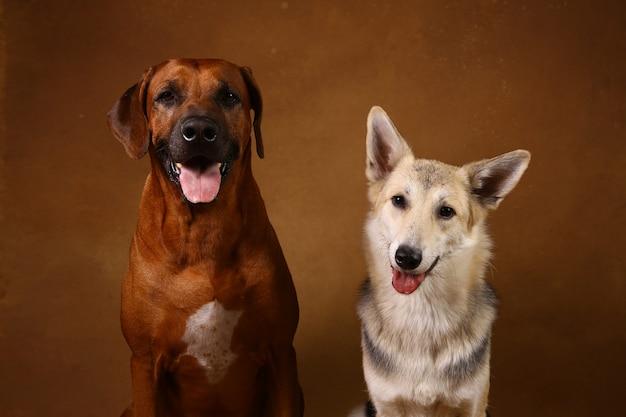 Due cani seduti su sfondo marrone