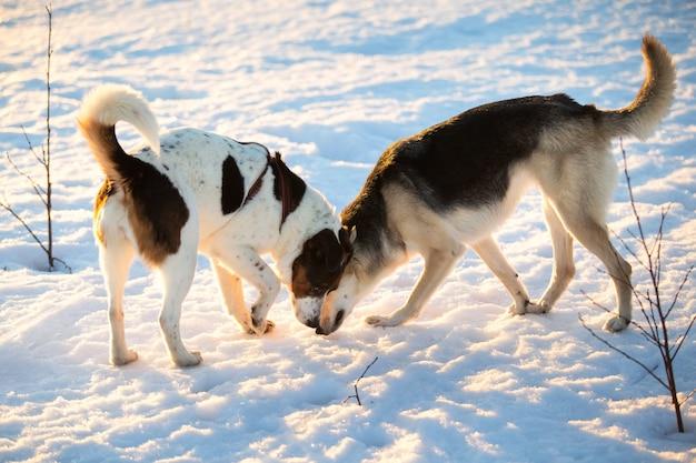 Due cani a passeggio sulla neve nel campo invernale