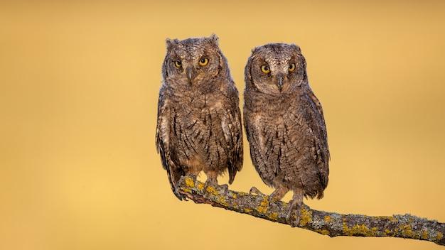 Due pulcini euroasiatici del gufo che si siedono su un ramo con muschio giallo.