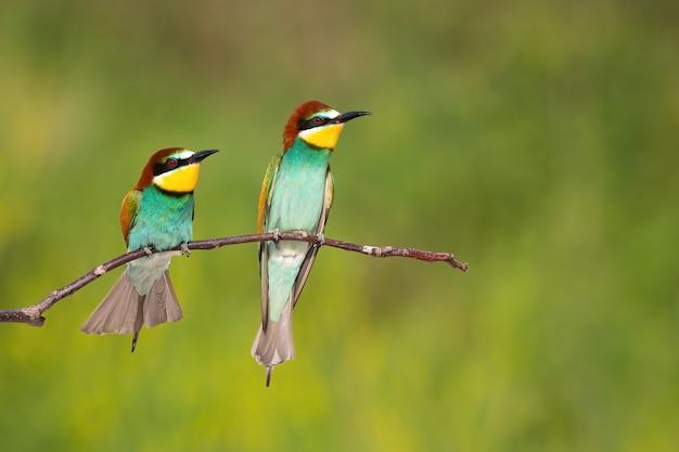 Due gruccione europei che guardano sul ramo