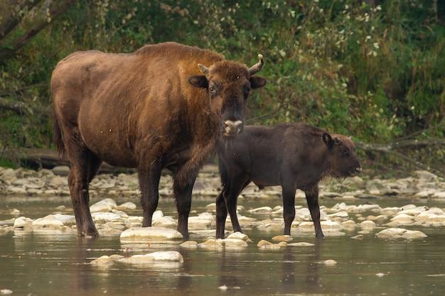Due bisonti europei che attraversano l'acqua nella natura estiva