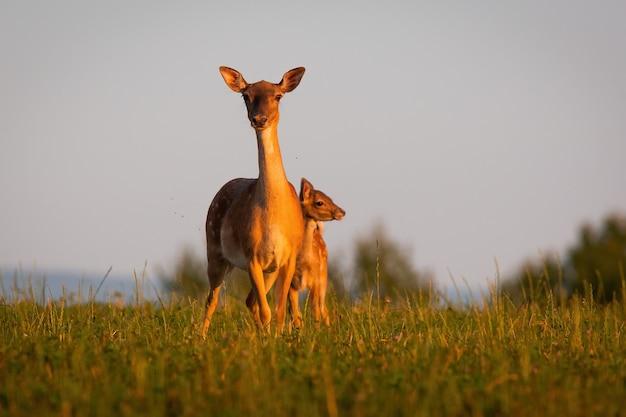 Due daini in piedi sul pascolo nel tramonto estivo