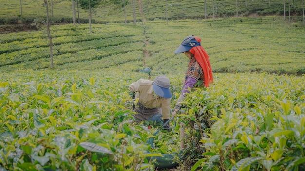 Due contadini che raccolgono il tè