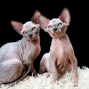 Due gattini sphynx canadesi seduti su un tappeto bianco con pelo lungo e sfondo nero