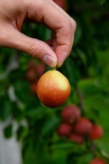 Due dita tengono la pera per coda, contro l'albero con le pere
