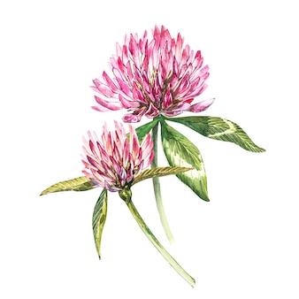 Due fiori di trifoglio rosso con foglie. illustrazione botanica dell'acquerello isolata su bianco. buona festa di san patrizio.