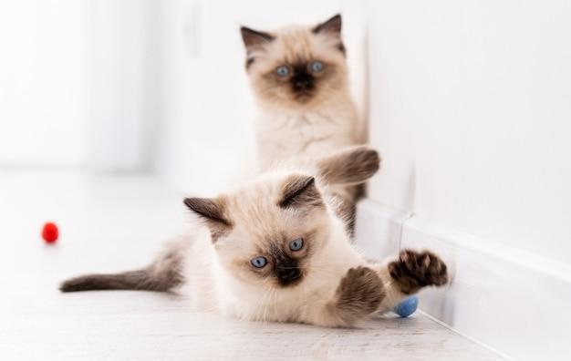 Due soffici gattini ragdoll sul pavimento giocano insieme con palline colorate. ritratto degli animali domestici del gattino felino della razza americana con i giocattoli a casa. piccoli gatti domestici di razza divertenti all'interno nella stanza bianca Foto Premium