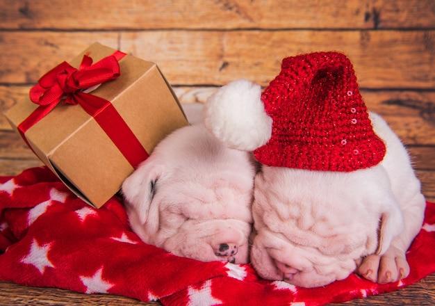 Due cani di cuccioli di bulldog americano divertenti con il cappello di babbo natale stanno dormendo.