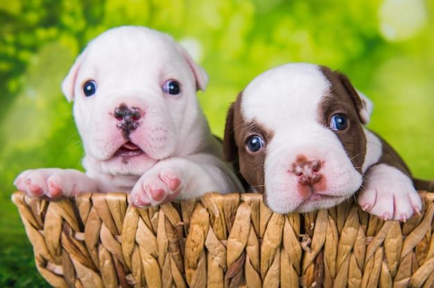 Due simpatici cuccioli di american bullies su sfondo verde