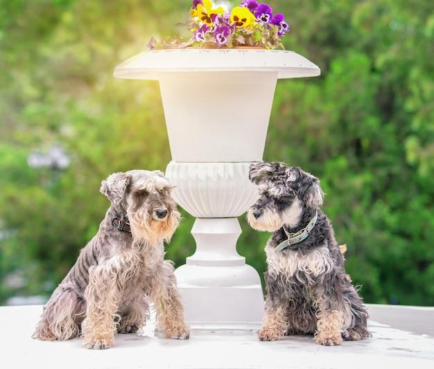 Due divertenti schnauzer in miniatura vicino a un vaso di fiori bianco