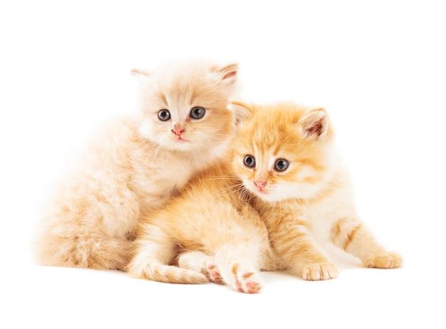 Due gattini allo zenzero sdraiati su sfondo bianco
