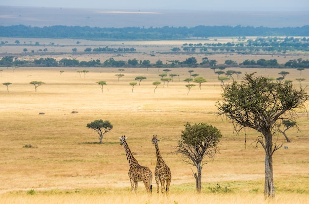 Due giraffe nella savana