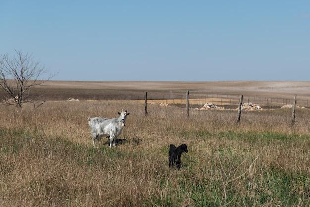 Due capre di bianco e nero camminano.