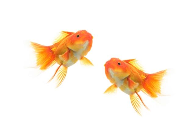 Due pesci d'oro che nuotano su sfondo bianco