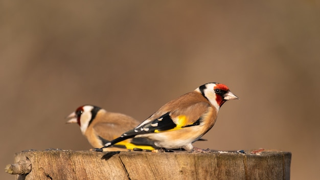 Due cardellini carduelis carduelis su una mangiatoia per uccelli in giardino in inverno.