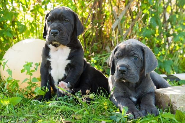 Due cuccioli di cani alano grigio e nero fuori a piedi