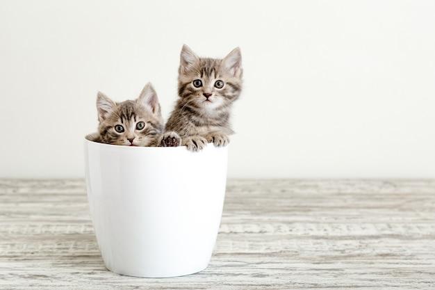 Due gattini tabby grigi seduti in un vaso di fiori bianchi. ritratto di due adorabili gattini soffici con copia spazio. bei gatti del bambino su fondo bianco.