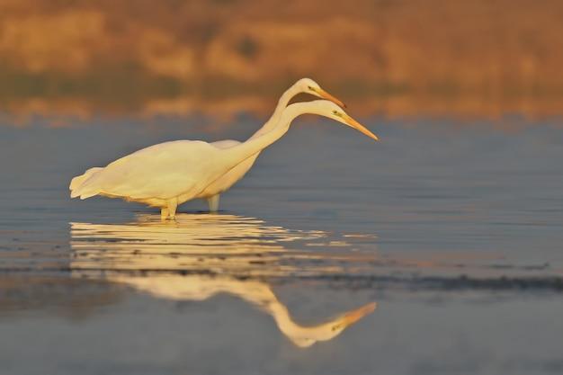 Due grandi aironi bianchi pescano in acque calme nella morbida luce del mattino su uno sfocato della riva lontana