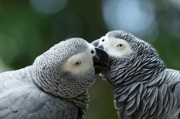 Due coppie di uccelli pappagallo grigio