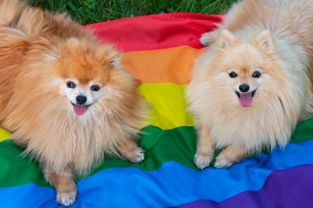 Due amici felici pomeranian spitz cani sdraiati sull'erba sulla bandiera a colori lgbt arcobaleno che sorride con la lingua fuori in estate. animali dell'orgoglio gay. relazioni omosessuali e concetto di orientamento transgender