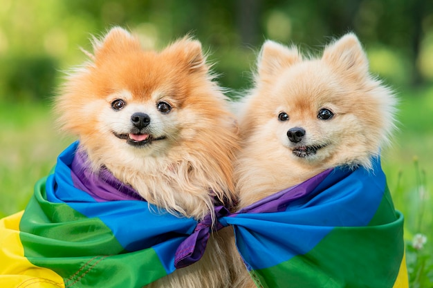 Due cani gay omosessuali felici con cuccioli di spitz pomeranian bandiera arcobaleno lgbt