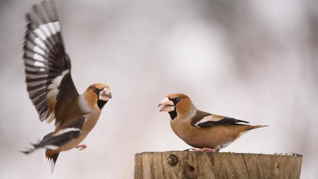 Due hawfinch (coccothraustes coccothraustes) sulla mangiatoia per uccelli invernali.