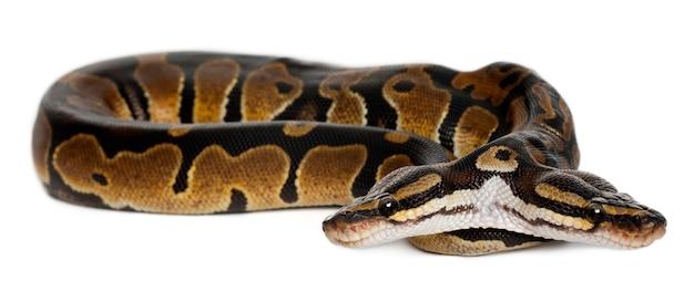 Pitone reale a due teste o pitone a sfera - python regius