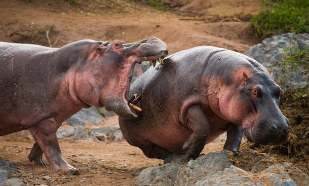 Due ippopotami stanno combattendo tra loro