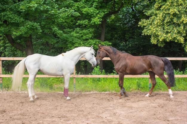 Due cavalli pascolano e camminano nel paddock in una giornata estiva
