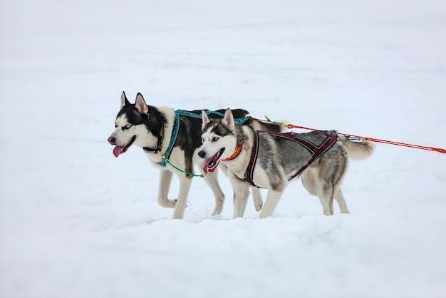 Due cani husky nella neve in competizione