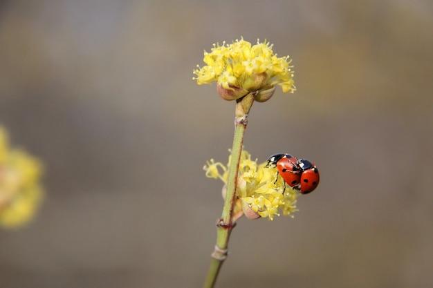 Due coccinelle che fanno l'amore sul concetto di primavera fiore giallo coccinelle accoppiamento sul fiore all'inizio della primavera closeup all'aperto