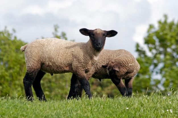 Due agnelli al verde