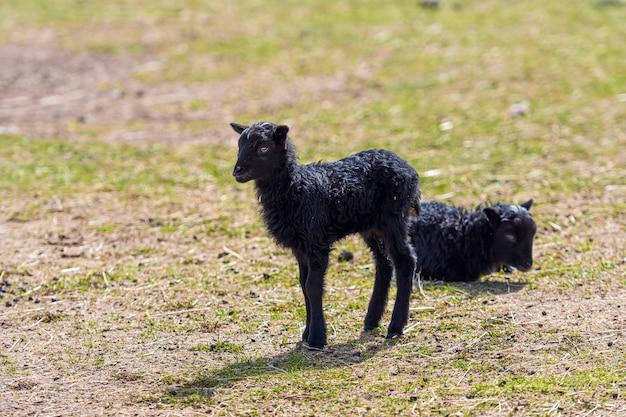 Due agnelli con lana nera in un prato in primavera