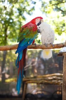 Due grandi pappagalli esotici di colore brillante sono seduti su un grosso ramo sullo sfondo di tre