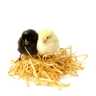Due piccoli polli nel nido isolato su bianco.