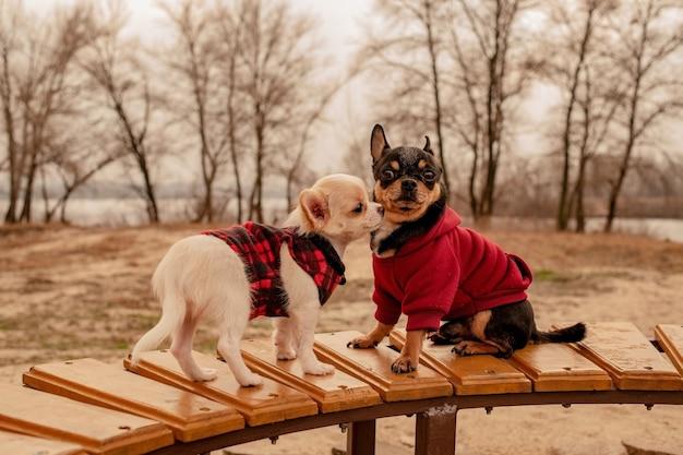 Due piccoli cani della chihuahua sul banco