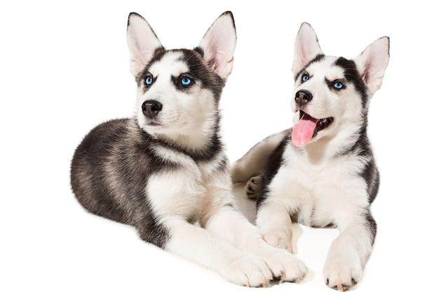 Due piccoli simpatici cuccioli di cane husky siberiano con occhi azzurri isolati bellissimi cuccioli