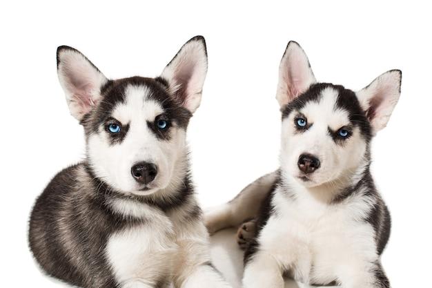 Due piccoli graziosi cucciolo di cane husky siberiano con gli occhi azzurri isolati. bellissimi cuccioli