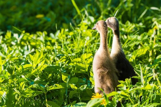 Due piccolo anatroccolo grigio domestico che si siede nell'erba verde.